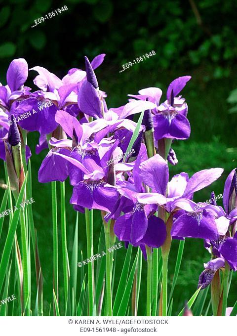 line of sunlit purple irises, dark green foliage behind