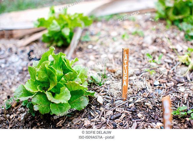 Lettuce with Italian label in garden