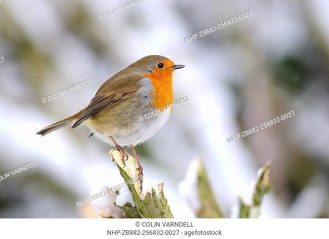 Adult robin in snow. Dorset, UK January 2010
