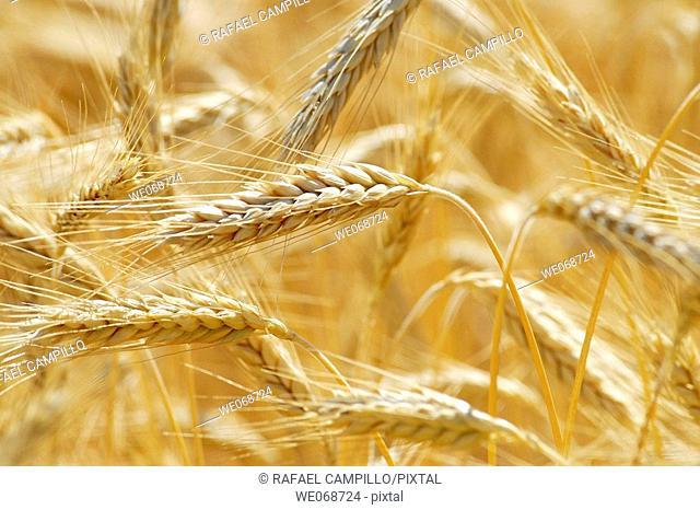 Wheat. Osseja, Pyrénées-Orientales, France