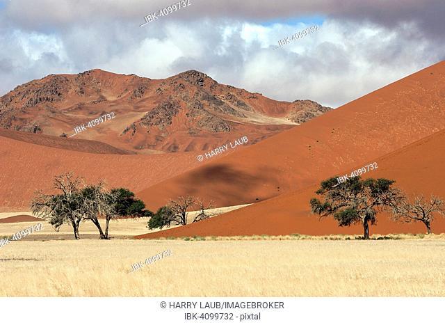 Sand dunes, Camel thorn trees (Vachellia erioloba), Sossusvlei, Namib Desert, Namib-Naukluft National Park, Namibia