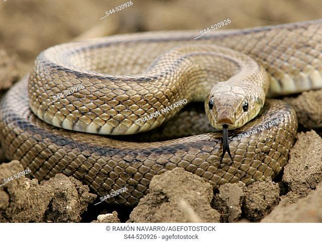 Ladder Snake (Elaphe scalaris)