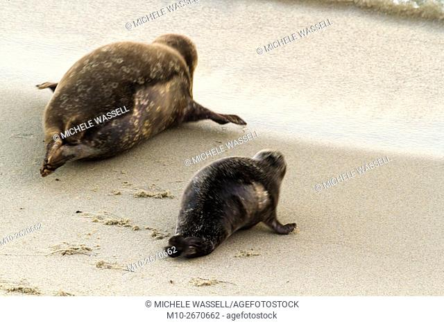 Harbor Seal mom and pup heading towards the water in La Jolla, California