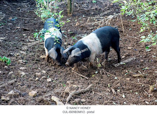 Two pigs snuffling in dirt