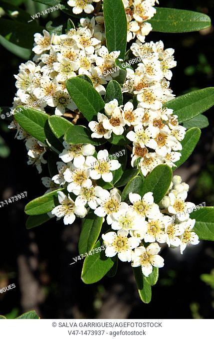 Pyracantha coccinea, Firethorn, crategus, Rosaceae, pyracantha, common pyracantha, pyracantha, hawthorn, hawthorn coral, astringents