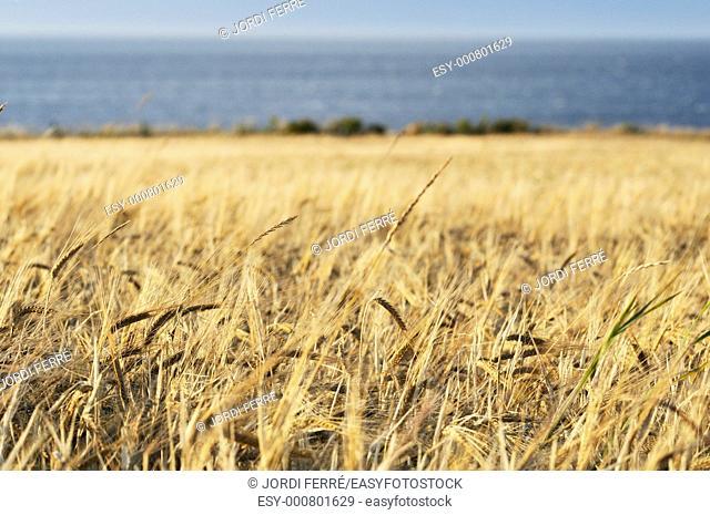 Barley field, Moray region, Scotland, United Kingdom, Europe