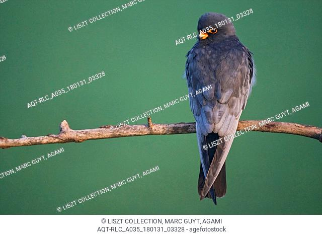 Red-Footed Falcon, Falco vespertinus, Red-footed Falcon