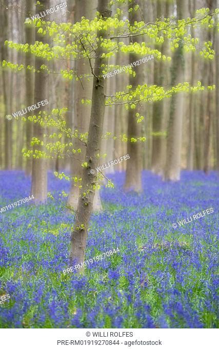 Spring at Hallerbos with blooming bluebells, Halle, Flemish Brabant province, Belgium / Frühling im Hallerbos mit blühenden Hasenglöckchen, Halle