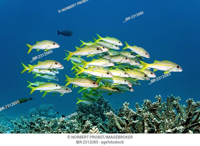 Shoal of yellowfin goatfish (Mulloidichthys vanicolensis) swimming over hard corals, Great Barrier Reef, a UNESCO World Heritage Site, Queensland, Cairns