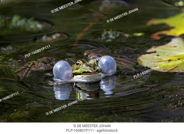 Edible frog / common water frog / green frog (Pelophylax kl. esculentus / Rana kl. esculenta) male floating in pond showing inflated vocal sacs