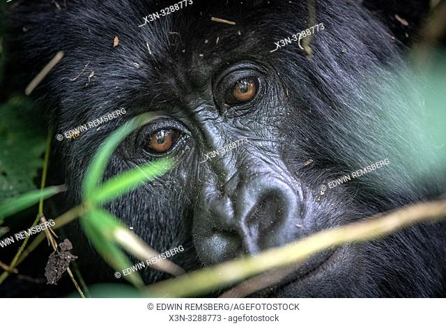 Mountain Gorilla (Gorilla beringei beringei) of the Muhoza group, in Volcanoes National Park, Virunga mountain range , Rwanda