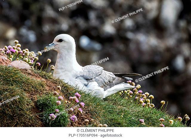 Northern fulmar / Arctic fulmar (Fulmarus glacialis) nesting on top of sea cliff at seabird colony, Scotland, UK