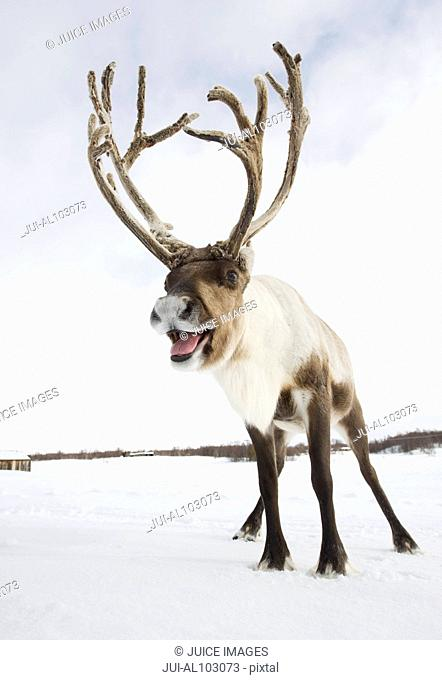 A reindeer standing in the snow