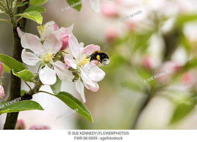 Apple, Malus domestica tree, Bumble bee Bombus hypnorum, feeding on blossom