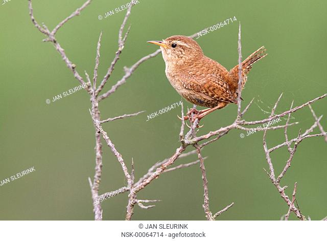 Eurasian Wren (Troglodytes troglodytes) perched on a Sea Buckthorn (Hippophae rhamnoides), The Netherlands, Noord-Holland, Texel