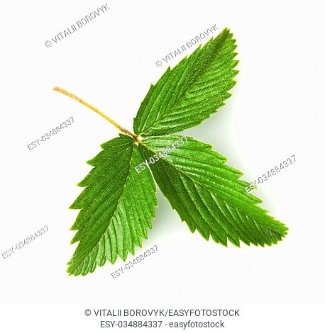 Wild strawberry leaf rotated isolated on white background