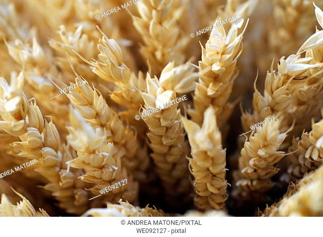 Ears of wheat close up