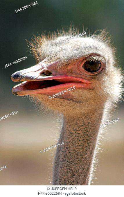 south africa, Karoo, Western cape, Oudtshorn, ostrich farm