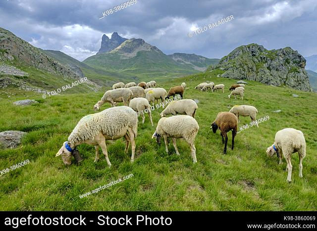 flock of sheep in the meadows of Portalet, Ayous lakes tour, Pyrenees National Park, Pyrenees Atlantiques, France