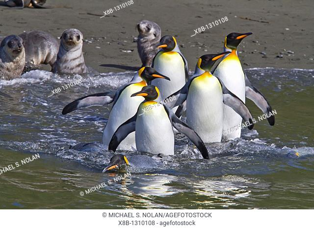 King penguin Aptenodytes patagonicus breeding and nesting colony Hercules Bay on South Georgia Island, Southern Ocean  MORE INFO The king penguin is the second...