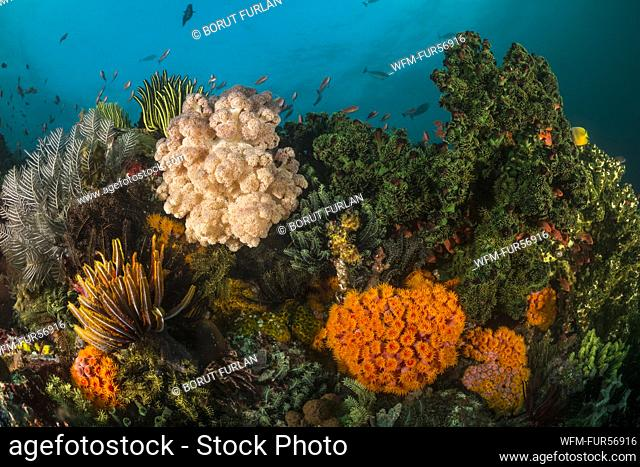 Colored Coral Reef, Tubastrea faulkneri, Komodo, Indonesia