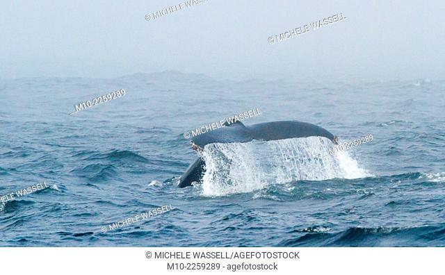 Humpback Whale tail flukein the Monterey Bay, Monterey, California, CA, USA