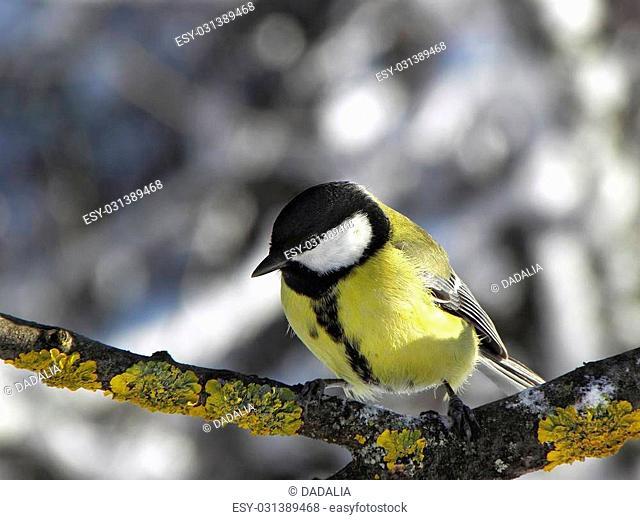 Chickadee Feeling cold