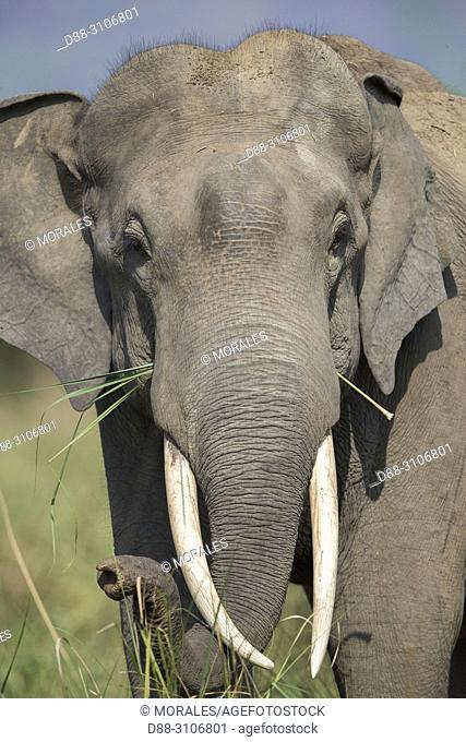 Asia, India, Uttarakhand, Jim Corbett National Park, Asian or Asiatic elephant (Elephas maximus).Old Male