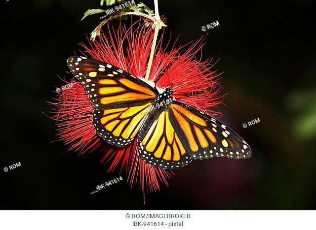 Monarch butterfly (Danaus plexippus) perched on a Red Tassel Flower or Powderpuff Tree (Calliandra tweedii), Constance, Baden-Wuerttemberg, Germany, Europe