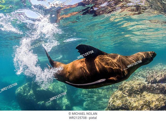 Adult California sea lion (Zalophus californianus) underwater at Los Islotes, Baja California Sur, Mexico, North America