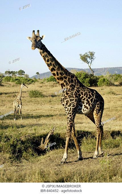 Masai giraffe (Giraffa c. tippelskirchi), adult, Masai Mata, Kenya, Africa