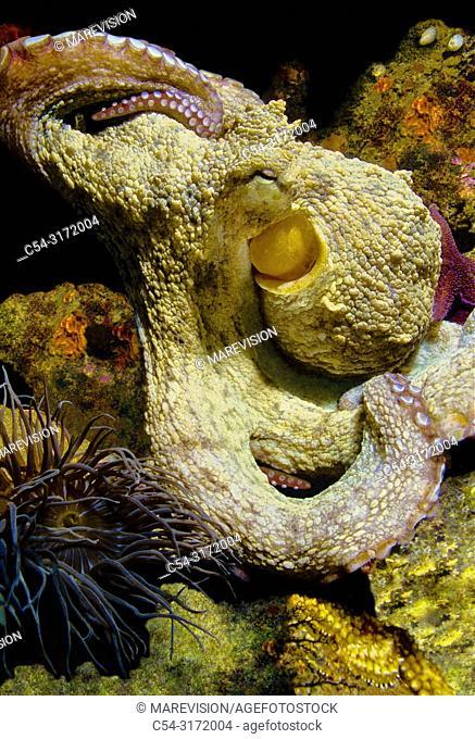 Common octopus (Octopus vulgaris). Eastern Atlantic. Galicia. Spain. Europe