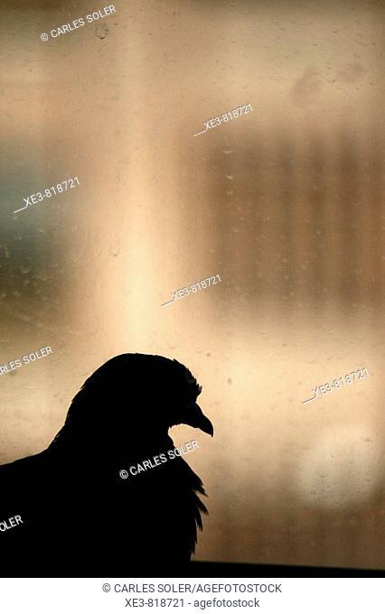 Pigeon behind window