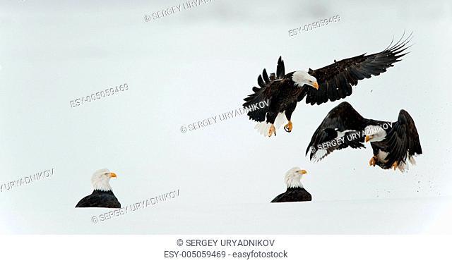 Fighting Bald eagles Haliaeetus leucocephalus