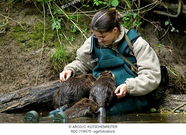Woman andEuropean Beavers, Rosenheim, Bavaria, Germany, Europe / (Castor fiber)