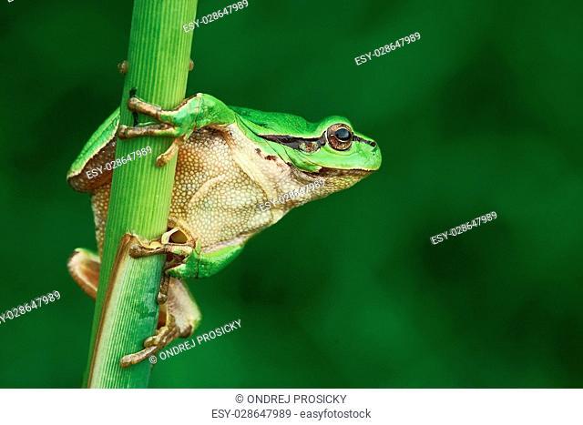 Nice green amphibian European tree frog, Hyla arborea
