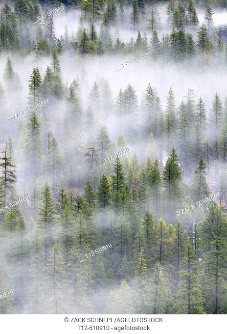 Trees in mist, Yosemite
