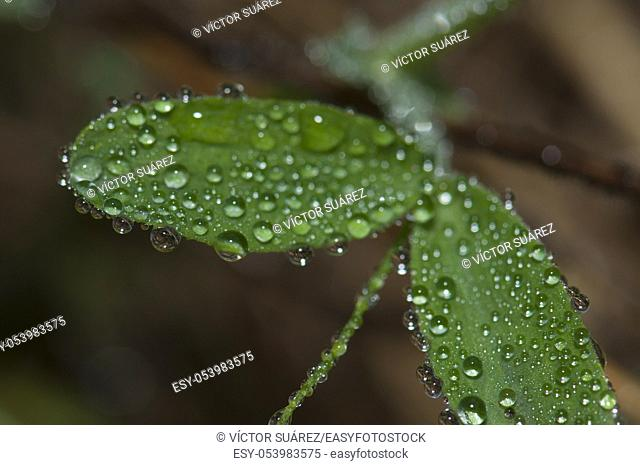 Leaves covered with dew drops. Integral Natural Reserve of Mencafete. Frontera. El Hierro. Canary Islands. Spain