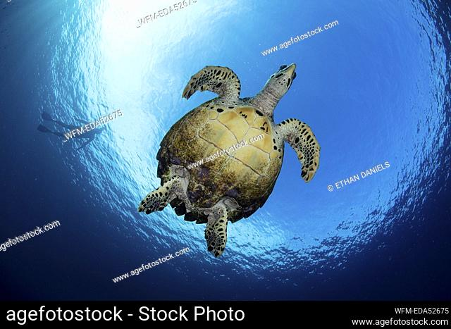 Hawksbill Sea Turtle, Eretmochelys imbricata, Raja Ampat, West Papua, Indonesia