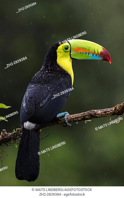Keel-billed toucan, Ramphastos sulfuratus, sitting in a tree with raindrops on it's back, at Laguna del Lagarto, Boca Tapada, San Carlos, Costa Rica