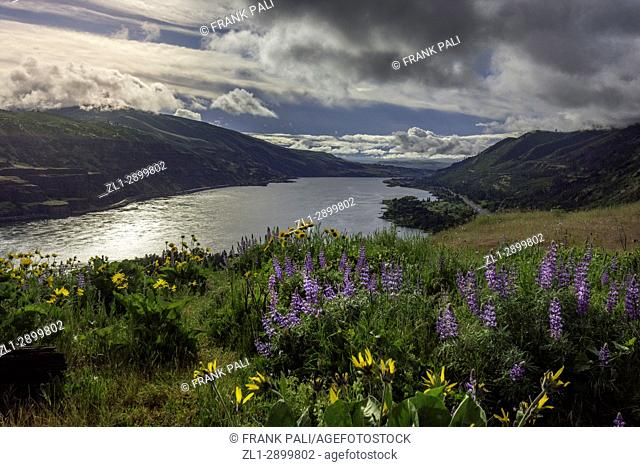 Over looking Columbia River Gorge, from Rowena Crest Oregon, USA; Balsamroot and Lupine wildflowers