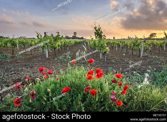 Vine field near Nubia saltworks in Nubia hamlet in municipality of Paceco, province of Trapani, Sicily, Italy