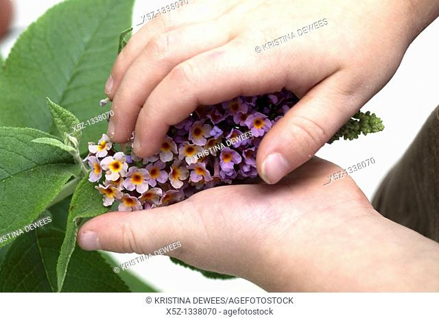 A child's hands holding a bicolor Butterfly Bush panicle