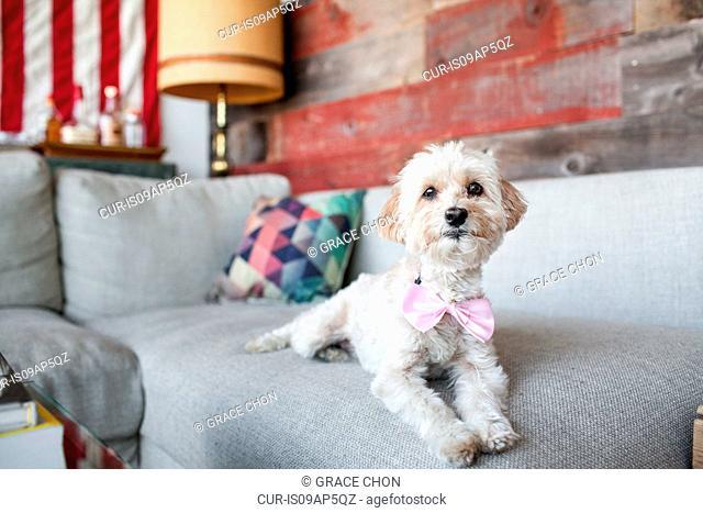 Portrait of cute dog lying on living room sofa