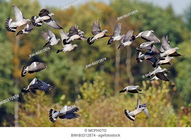 wood pigeon (Columba palumbus), flying up flock, Germany