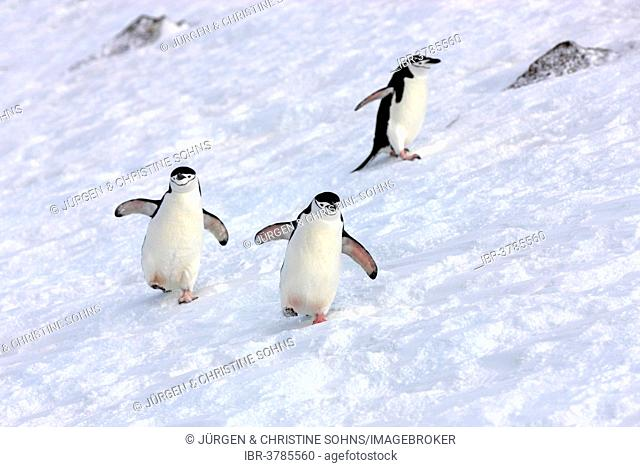 Chinstrap penguins (Pygoscelis antarctica), adult, spreading wings, Brown Bluff, Antarctica