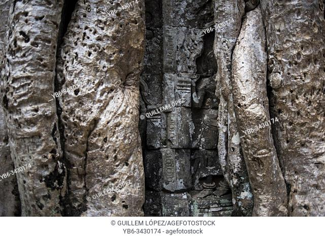 Detail of bayan tree roots at the Ta Prohm temple in Angkor Wat, Siem Reap, Cambodia