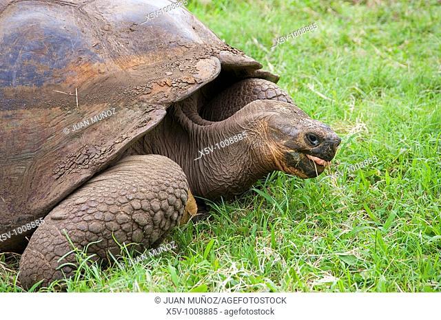 Giant Tortoise in El Chato Natural Reserve. Finca Primicias. Indefatigable Island. Galapagos Islands. Ecuador