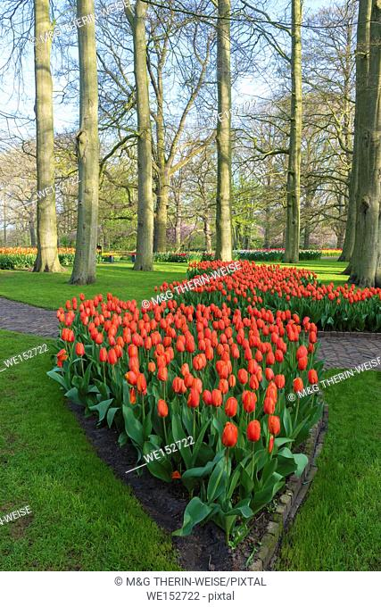 Flower garden with multi-colored tulips in bloom, Keukenhof Gardens Exhibit, Lisse, South Holland, The Netherlands