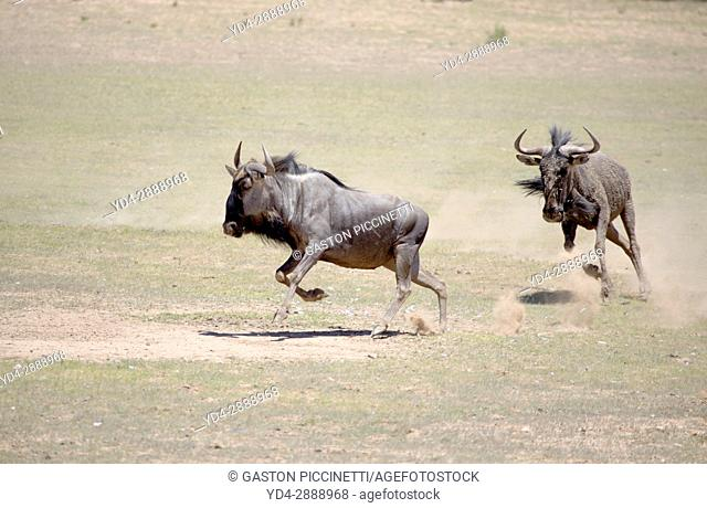 Blue wildebeest (Connochaetes taurinus), running, Kgalagadi Transfrontier Park, Kalahari desert, South Africa/Botswana